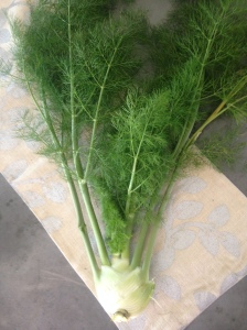 I needed to harvest this fennel bulb, as I was afraid that recent warm weather might cause it to bolt.