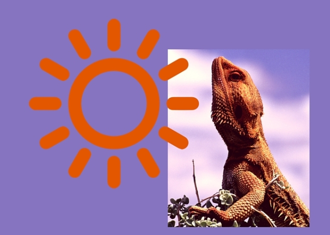 Lizard runners complain when the temperature drops. They love the sun and getting out at midday.