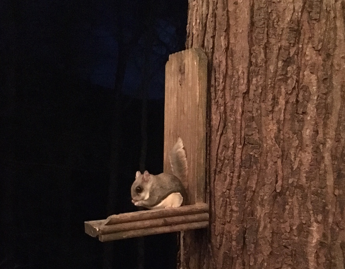 Flying squirrel eating sunflower seeds from a feeder.
