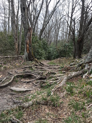 Tree roots grow over a trail at Price Lake in North Carolina.