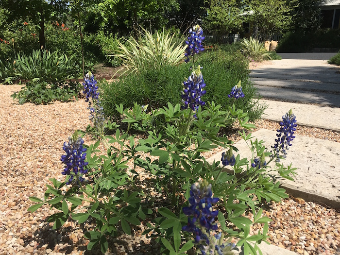 Clump of bluebonnets in Austin yard landscaping.