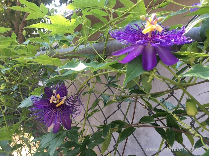 Two passionflower vine blossoms growing on a chainlink fence.