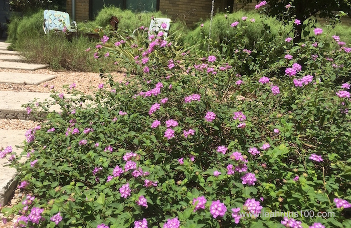 Purple trailing lantana with metal lawn chairs in background
