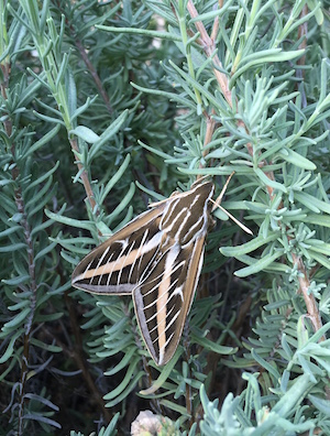 Large moth resting on herbs in garden.