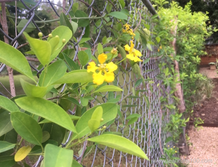 Yellow Butterfly Vine growing on chainlink fence.