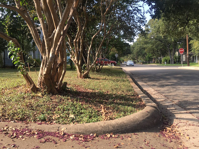 Mature crepe myrtles on Lafayette Ave. will be trimmed to make way for new sidewalk.