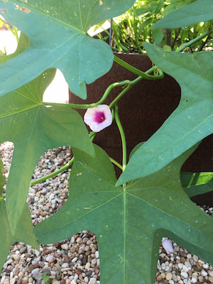 Sweet potato vine blossom.