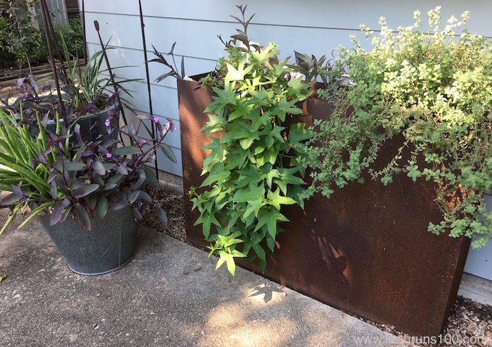 Metal box planter planted with sweet potato vine, oregano, and wandering Jew.