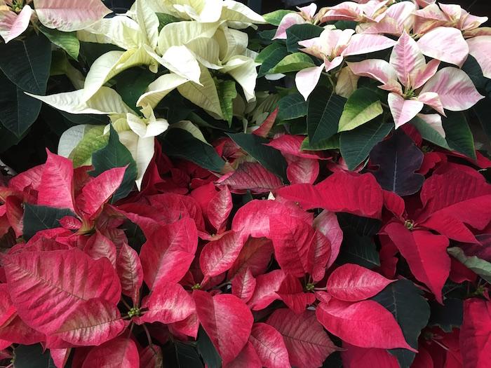 Fresh poinsettias at Ann Arbor's Downtown Home & Garden