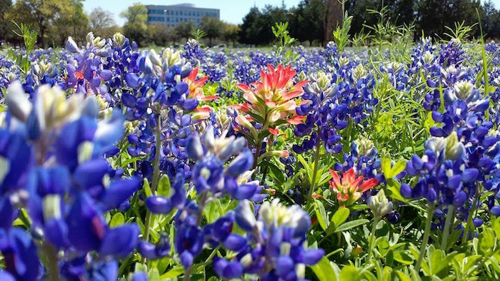 Texas bluebonnets with Indian paintbrush in a field.