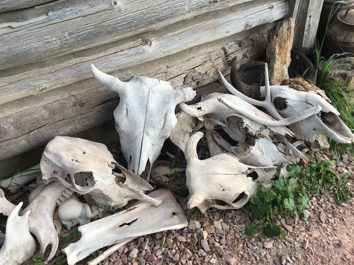 Cow skulls at High Plains Homestead in northwestern Nebraska