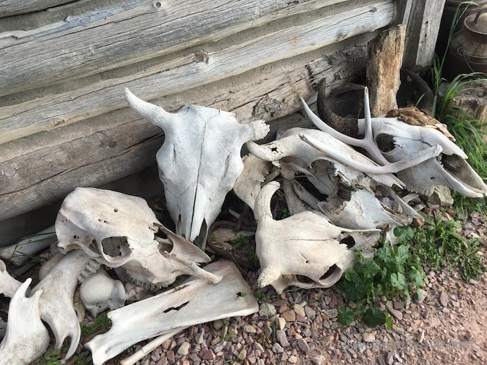 Cow skulls at High Plains Homestead in northwestern Nebraska