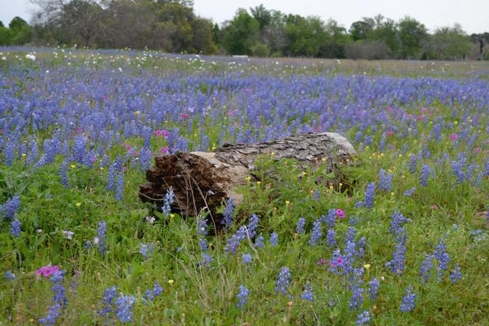 Bluebonnets in a field at Rocky Hill Ranch during Hell's Hills Trail Race