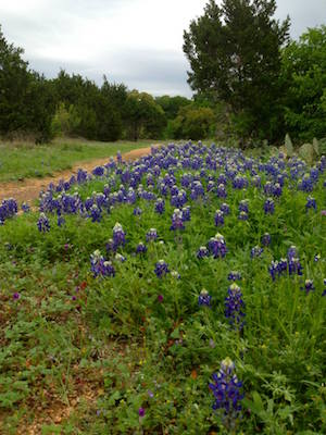Circle C trail in Austin with bluebonnets.