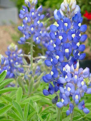 Big close-up of bluebonnets in Westlake area near Austin