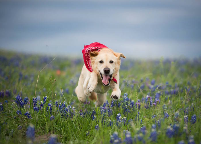 Golden Labrador bounds over field of bluebonnets at Old Settlers Park in Round Rock, TX