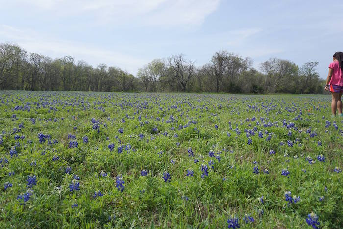 Field of bluebonnets at McKinney Falls State Park, with girl to the side.