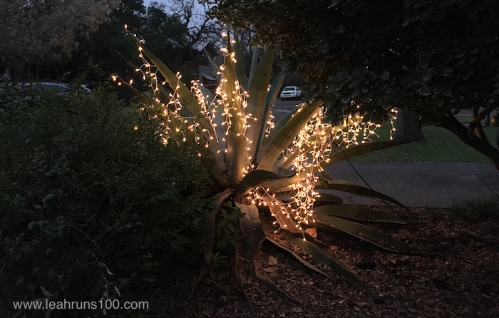 White lights decorating an agave plant.