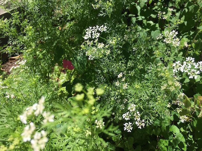 Blooming cilantro
