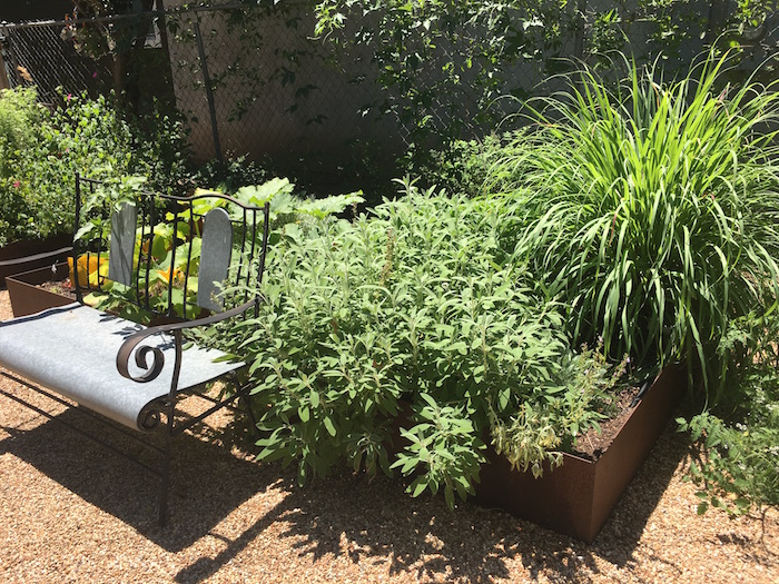 Sage and lemongrass growing in raised metal garden beds.