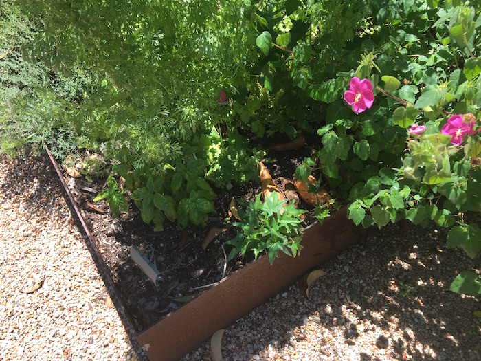 Sweet potatoes growing leaves in a garden box.
